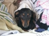 Dachshund, 4 1/2, black & tan