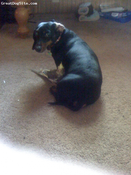 Dachshund, 3 years old, black, him and the bird r best friends