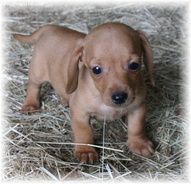 Dachshund, 9 weeks, Red,