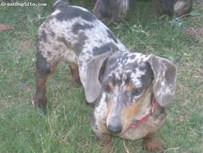Dachshund, 2 years old, Blue/tan Dapple, Rainy is a beautiful Blue/tan Dapple MS female miniature dachshund from one of my own breedings.