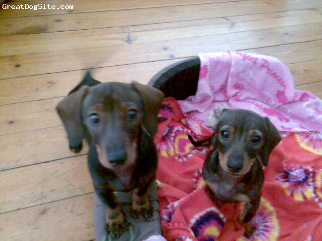 Dachshund, 7 months, Black, Brown and Tan, Aren't their colours unusual?