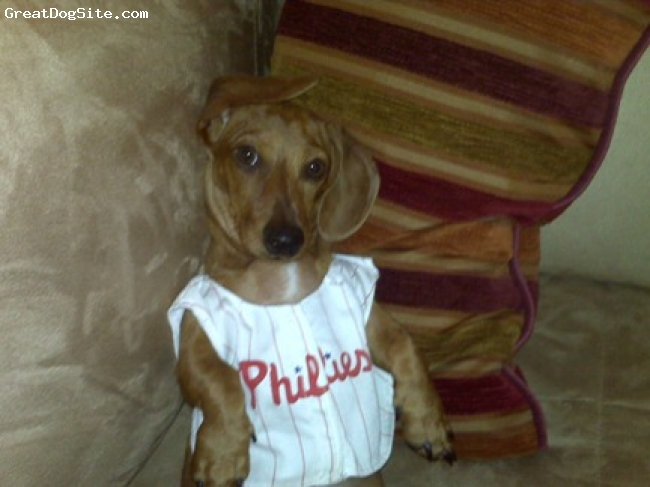 Dachshund, 6 Months, Red Dapple, The Philadelphia Phillies are in the World Series, and their gonna go all the way!! My little man shows his philadelphia spirit in this picture.