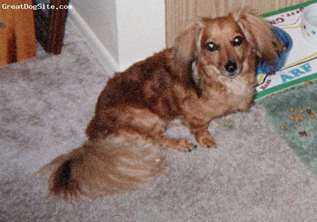 Dachshund, 8, Red, A wonderful Long Hair Miniature - certified TDI dog who loves everyone!