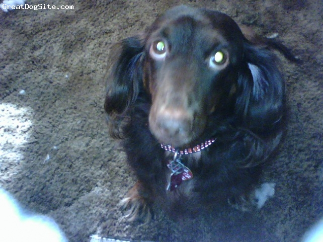 Dachshund, 7, Chocolate, I bought Oliver as a pup from a breeder. He's a terrific little dog that is bigger than my fiance's German Shepherd. He loves doing his tricks and showing off for people and other dogs.