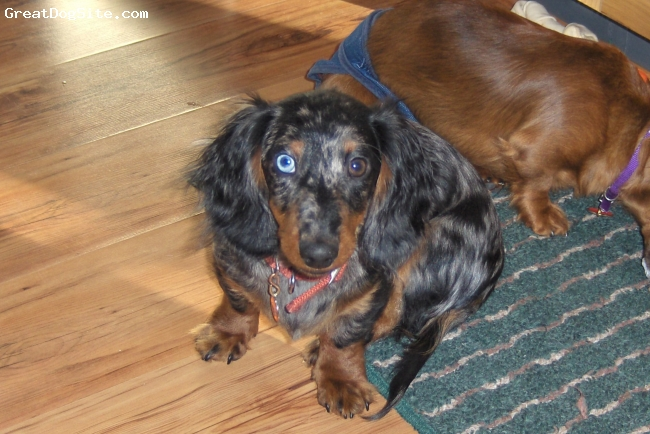 Dachshund, 23 weeks, silver dapple, he's a beautiful silver dapple pu full of fun and love