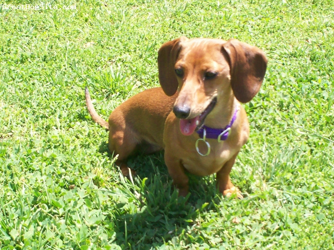 Dachshund, 1 year, Red, Best Friend a person can have!!! She LOVES to swim, fetch, chase birds...anything active. But at night she wants to snuggle on your lap and sleep with you all night long! Definitely not a morning dog..haha!!!