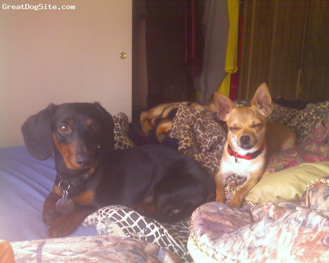 Dachshund, 18 months, Black and Tan, This Ralphy and Sammy. Ralphy is Miniture Dachshund and Sammy is Apple Chihuahua