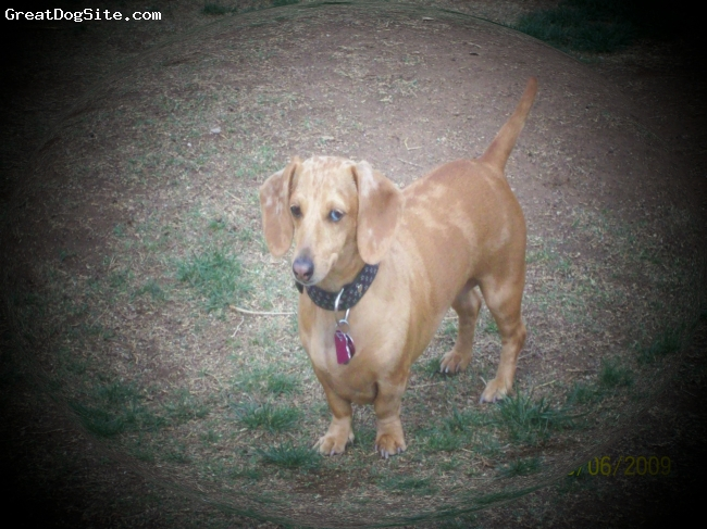 Dachshund, 2yrs, tan dapple, Sini comes from tucson, az, she is a girl, loves the desert, bubbles, naps under the warm laundry, shes very lovable and loyal.