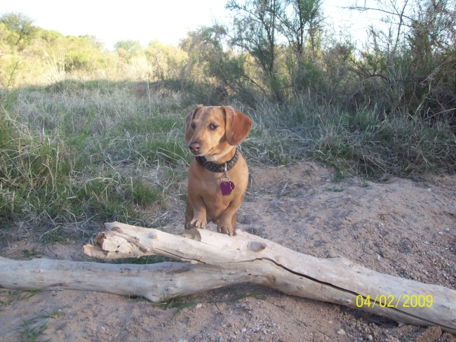Dachshund, 2YRS, TAN DAPPLE, This is the az desert, one of sinis favorite places, loves to chase rabbits.