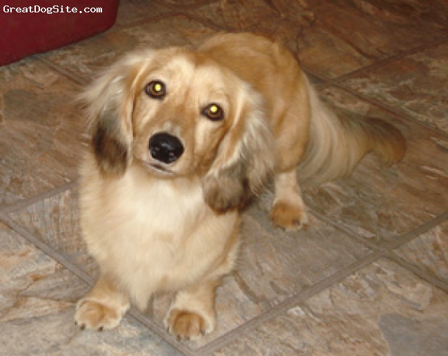 Dachshund, 1.5 years, cream, Luke is a a longhair miniature male cream  Dachshund. He id 10lbs, has a sweet temperament and wonderful American and Engilish Imported bloodlines. Luke has produced some wonderful puppies.
