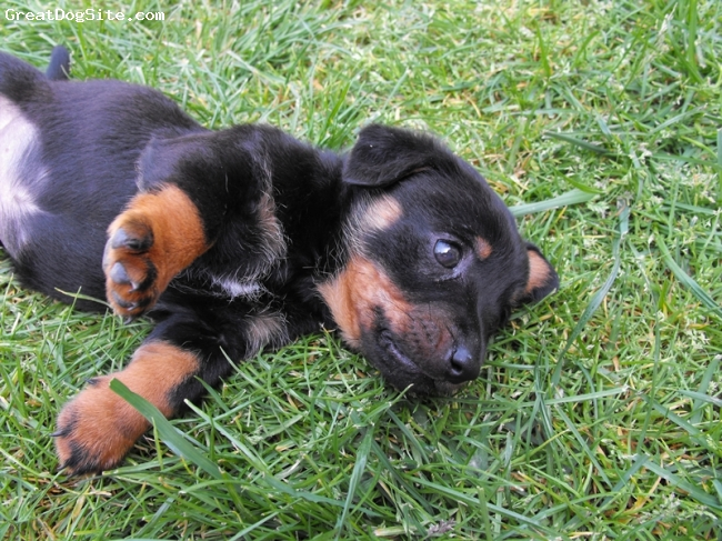 Dachshund, seven weeks, Black and tan, He's really playful and friendly. He loves it when we rub his tummy. :)
