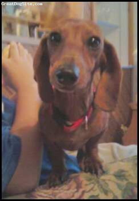 Dachshund, 11 months, brown, a crazy little hot dog...