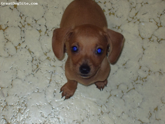 Dachshund, 2, tan, This is a picture of him when we first adopted him!! He is still just as cute! We LOVE him to death!!He is great with everyone even our grand kids. The only thing is he loves to chew ...his toys don't last long at all.