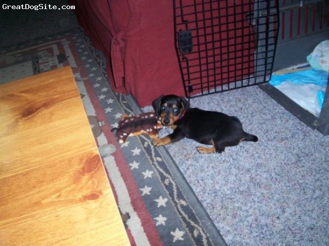 Dachshund, 2, black and tan, He is the light of my life. He loves to be with me all the time...even in the pool, although I am sure he would sink without my hand under his belly. This is a puppy pic.
