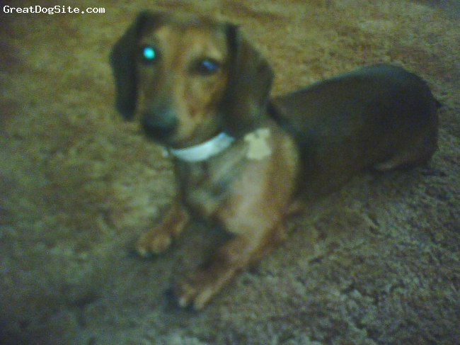 Dachshund, 2-3 years old, brown with some black, Long ears, long body, short fat paws