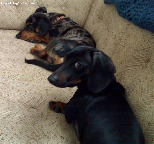 Dachshund, 1 and 4 years old, Dapple and Black, These are my 2 dachshunds Oscar and Otis!! I love them to death and I have no idea what I would do without them!!!