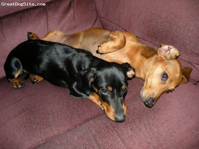 Dachshund, 5 and 1, Brown and Black/Brown, Zach and Lily love each other!