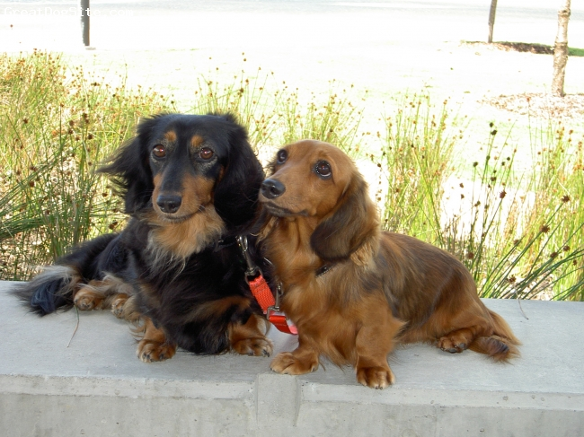 Dachshund, 6 years, Black and Tan, Bonnie is an Australian Champion now enjoying retirement with another little girl Astra aged 3 years.