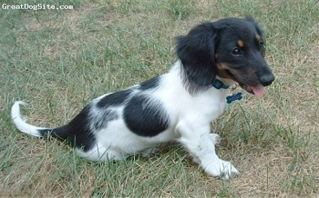 Dachshund, 2, balck and white, he is very smart
