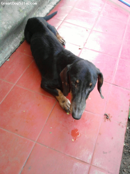 Dachshund, 6, Black, He is my only cute puppy....
