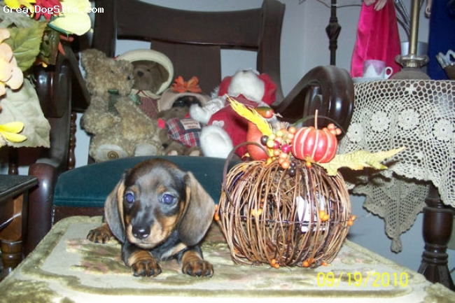 Dachshund, 8 weeks, Red Sable, AKC Red Sable Smooth Hair Female for Pet/Companion