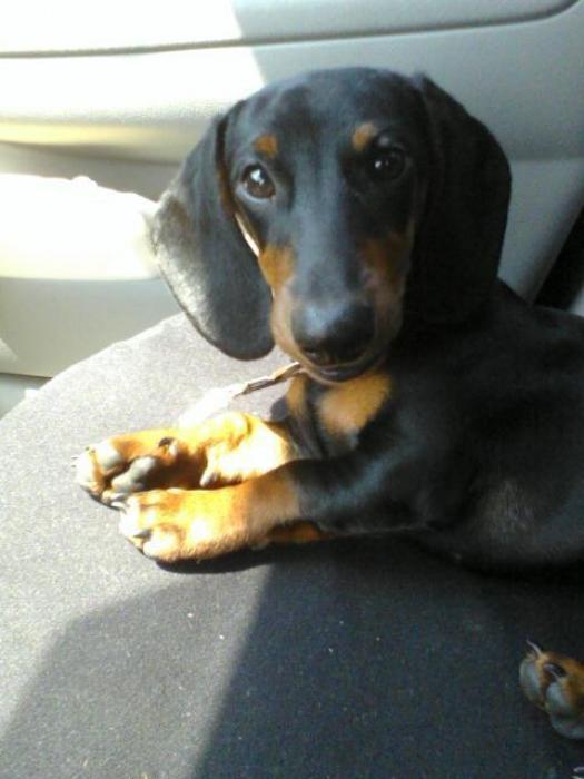 Dachshund, 8 months, Black and tan., My babyyyy.