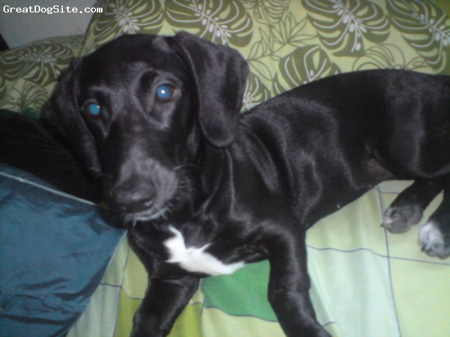 Dachshund, 5 months, black mix with white, shes so loving and faithfull i realy love my dog