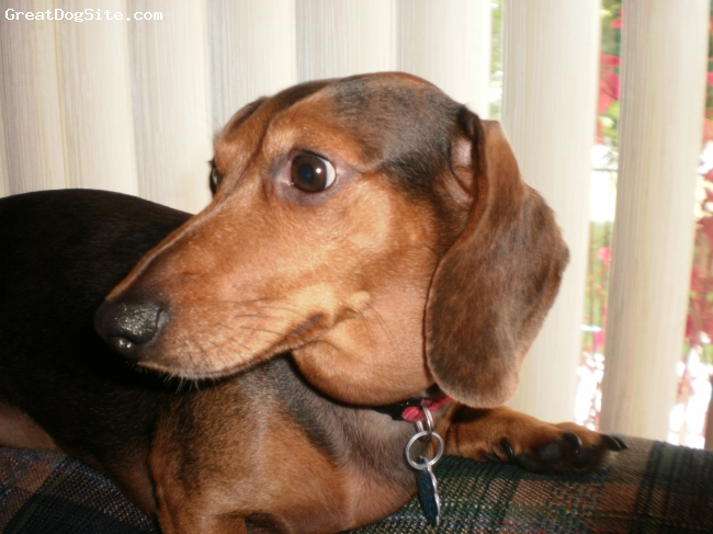Dachshund, 8-ish., black and tan, He's a wonderfully sweet dog. His exact age is unknown. He loves being a lap dog and letting his owners know what's what.