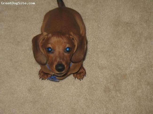 Dachshund, 7 mouths, brown, cute
