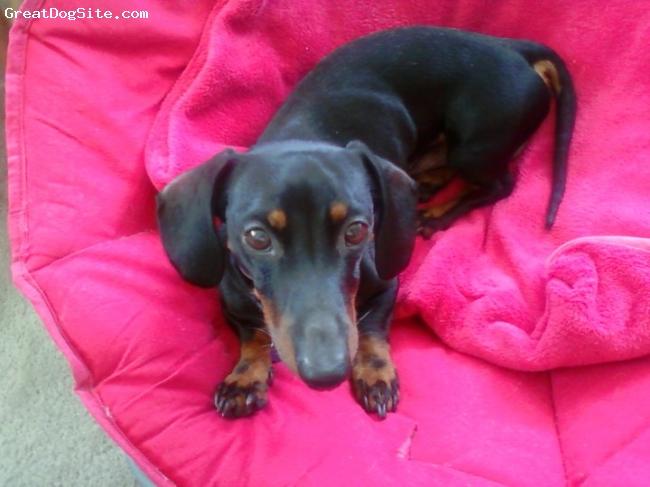 Dachshund, 3 1/2 years, black/brown, sweet & adorable