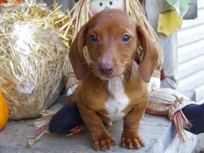 Dachshund, 12 weeks, Red, Meet a tracker a akc red boy who is showing for piebald in his chest and toes. Are you looking for a puppy that is out the crying stage one Started on crate and potty training then look no further. Hh has the sweetest, most loving personality and is sure to share a kiss with you.  Vet checked, dewormed, Utd vaccines, health guarantee and dew claws removed.  Call today to come play and meet this very special boy