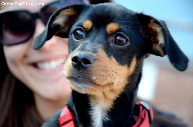 Dachshund, 1, Black and Tan, Toki is a one year old, black and tan Doxie-Pin.