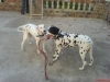 Dalmatian, 1 YEAR, WHITE BLACK