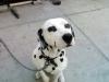 Dalmatian, 7, black-white