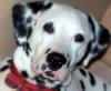 Dalmatian, 1 yr, Black Spots