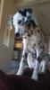 Dalmatian, 4 months, white, black spots