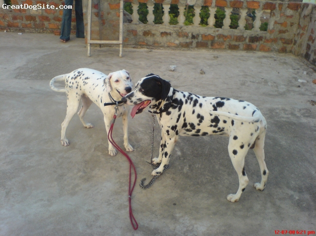 Dalmatian, 3, black, good friends
