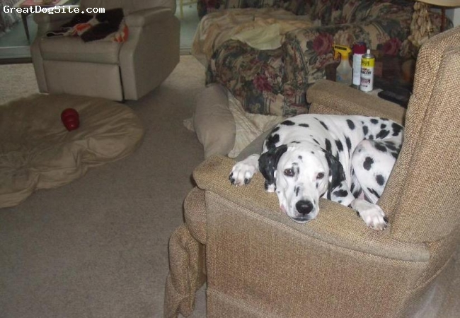 Dalmatian, 9, Black and white spotted, Bist Friend
