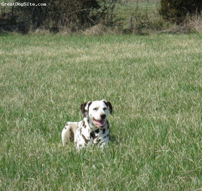 Dalmatian, 7 years, white/black, Outgoing adult dog.  Will follow me to hell and back without blinking.