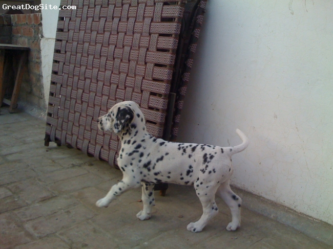Dalmatian, 3 months, white with black dots, this picture was clicked when leo was 3 months old ............he is having white color with black spots