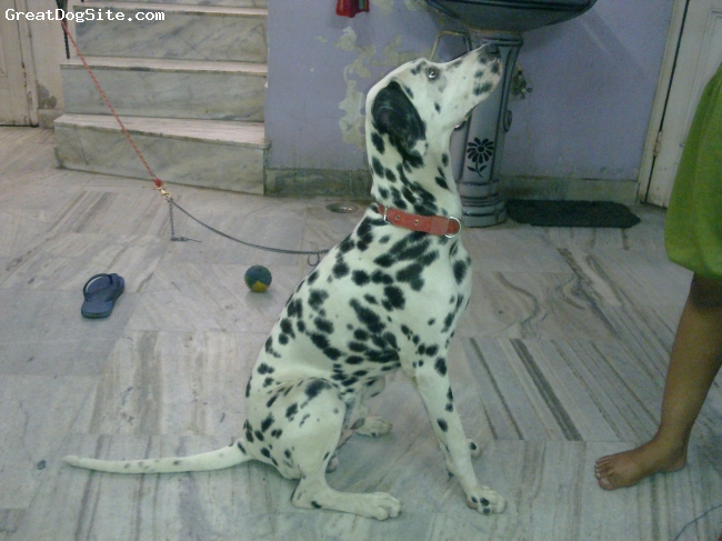 Dalmatian, 7months, white with black dots, leo is7months old dog ..he is vey active n naughty ...