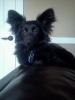 Dameranian, 8 months, Black