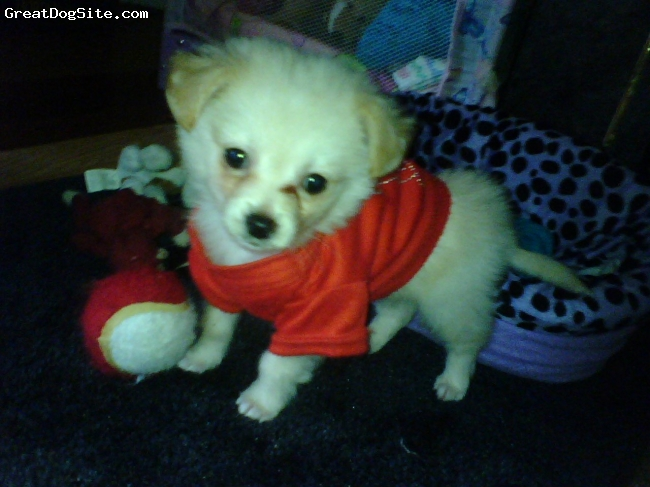 Dameranian, 9 weeks, cream/apricot, Gotta ♥ Teddy!