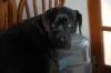 Daniff, 2, black