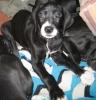 Daniff, 14 months, blk/wht