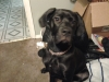 Daniff, 6 months, black
