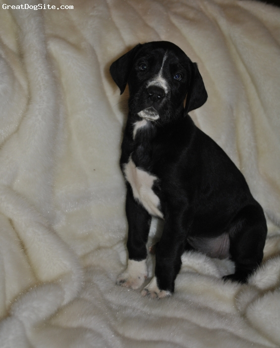 Daniff, 7weeks, Black & White, We have 4 Daniff pups for adoption.