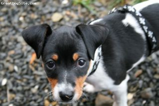 Danish Swedish Farm Dog, 2.5 months, white black and tan, A sweet and lively pup!
