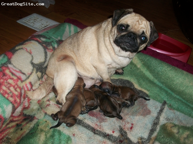 Daug, 1 day, brown, my dog maggy and her puppies they are daugs