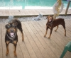 Doberman Pinscher, Adults, Black/rust & Red/tan